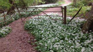 Wild-garlic-snapewood-wadhurst