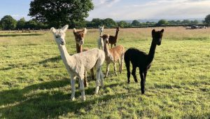 Alpacas at Bewl Rookery
