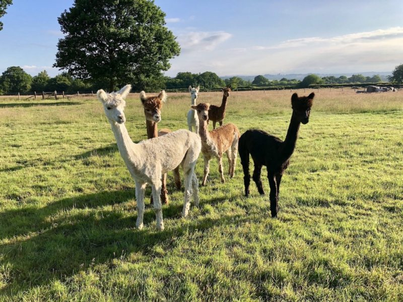 Meet our alpacas