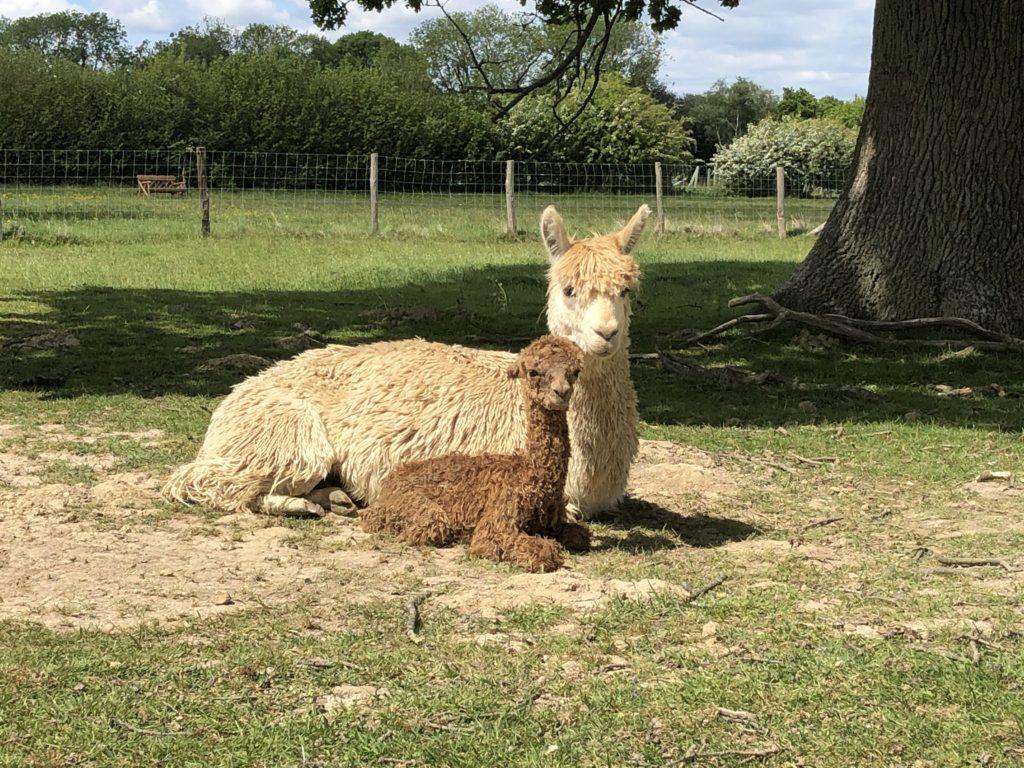 Pollyanna and her new born Cria
