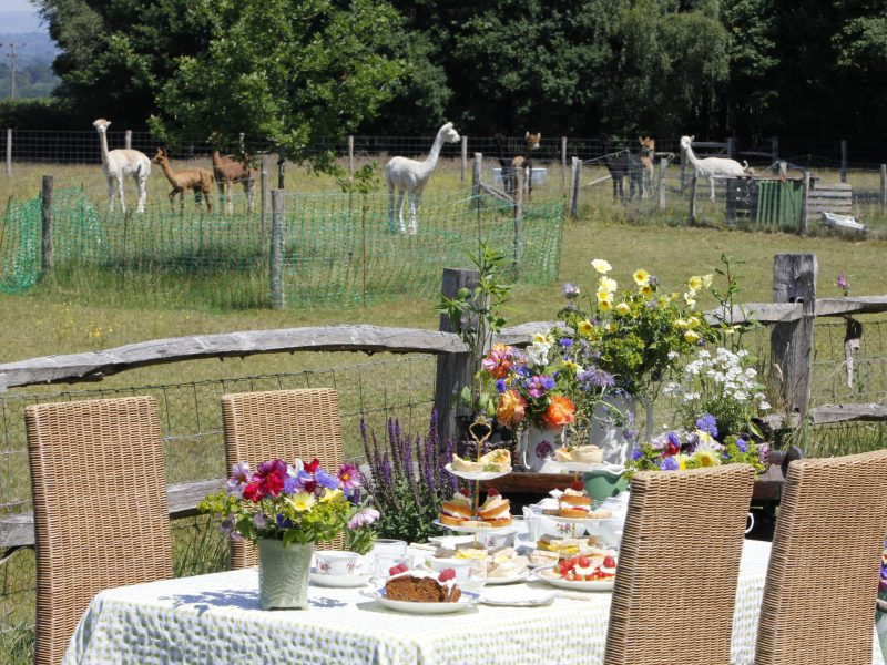 Bewl Rookery Afternoon Tea with Alpacas