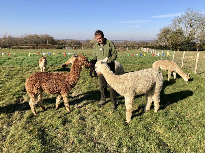 Carrot time for alpacas