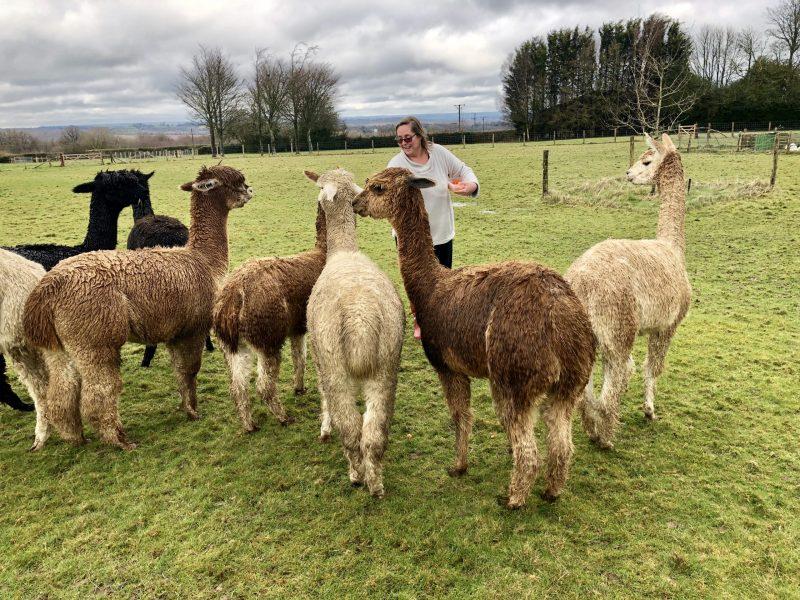 Feeding alpacas