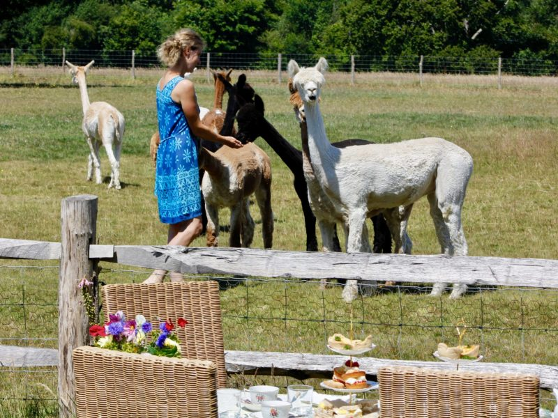 Tea and carrots for alpacas
