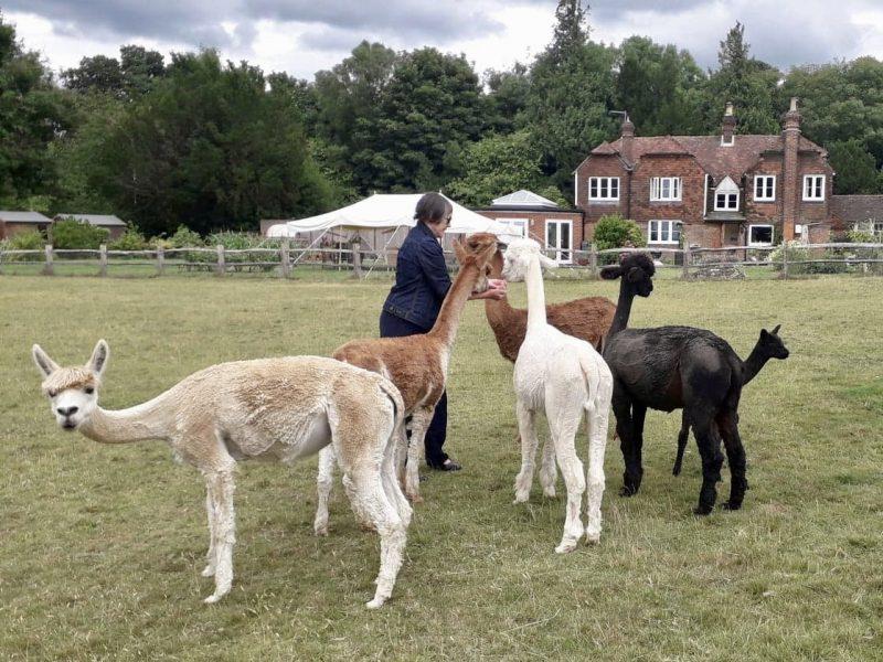Guests meet Bewl Rookery Alpacas