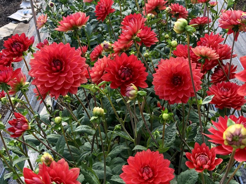 Dahlias at Bewl Rookery